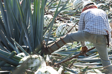 Tequila Tierras Proceso